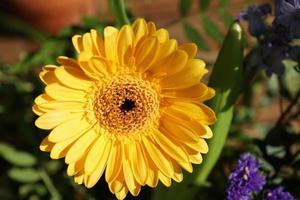 Yellow gerbera in the garden