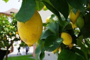citrons sur l'arbre photo