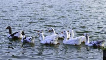 gansos nadando no lago foto