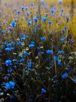 fiori blu su un campo