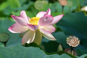 Lotus flower and fruit