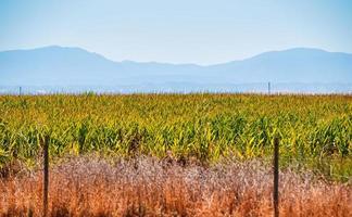 Corn fields in California
