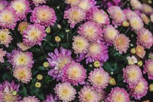 buisson de dahlia rose