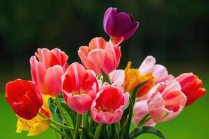 coloridas flores de tulipán