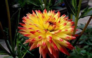 fleur de dahlia jaune et rouge