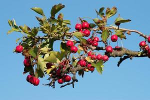 Dog-rose branch with fruits photo