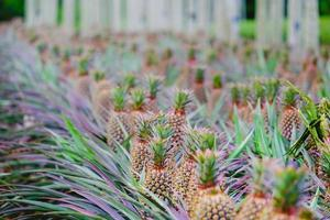 Pineapple growing on a farm photo