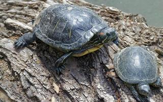 Turtles on a tree trunk