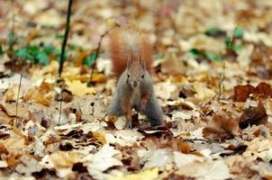 Squirrel standing on fallen leaves in a forest