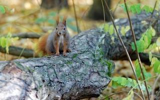 Eichhörnchen auf einem umgestürzten Baumstamm