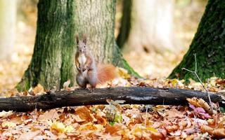 esquilo em pé no tronco de uma árvore