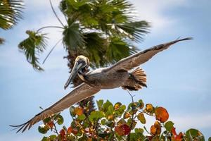 Brown pelican gliding over a tree
