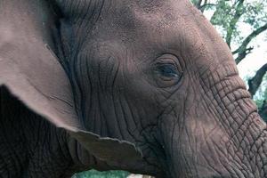 olho de elefante africano foto