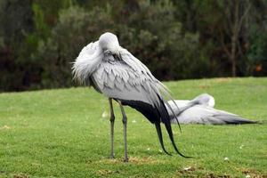 South African Blue Crane