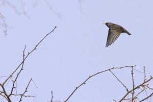 Common starling in flight