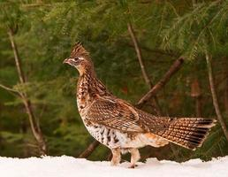 Close-up of a partridge bird photo