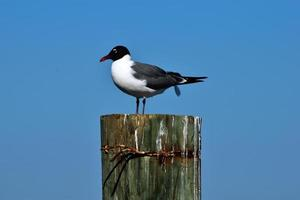 Laughing gull at the ocean