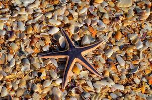 Starfish on pebbles photo