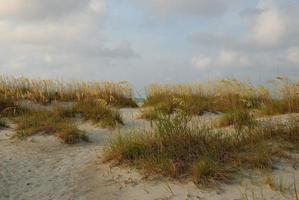 Sea oats on the sand dune