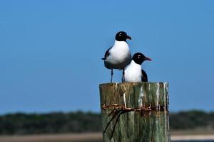 Laughing gulls at the ocean