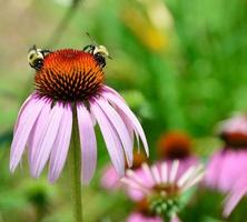 Bees on a cone flower