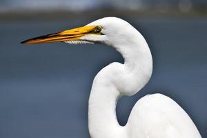 White egret portrait photo