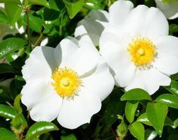 White Cherokee roses