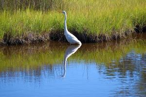 Great white heron