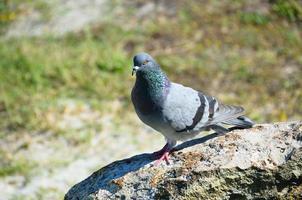 paloma en una roca