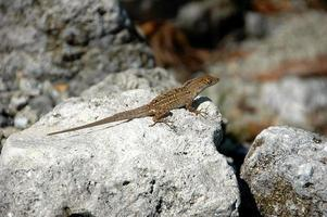 lagarto en una roca