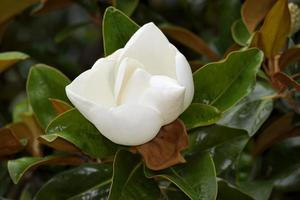 Blooming magnolia flower photo