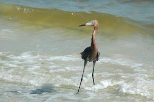 Red egret in the ocean