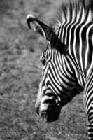 Zebra head, black and white photo