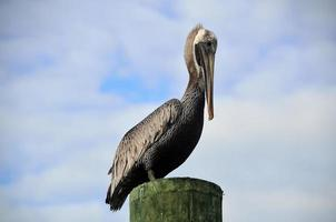 Pelican resting on a pole