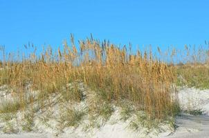 Sea oats on sand dunes