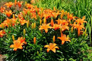 Asian Lilies in the park