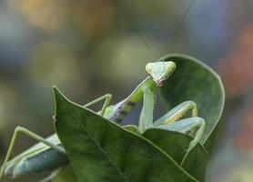 mantis buscando comida