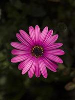African daisy flower photo