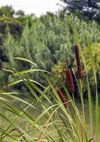 Cattail plant in a swamp