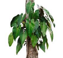 pequeñas hojas de monstera en un árbol