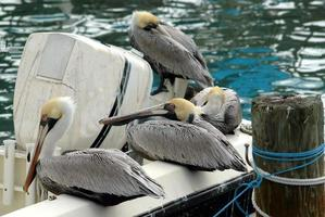 Brown pelicans resting