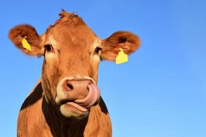 Brown cow on blue sky background