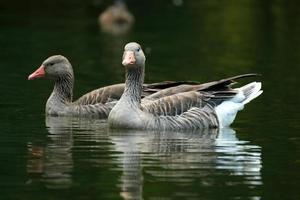 gansos nadando en el agua del lago