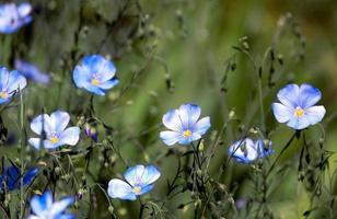 flores azules en un campo