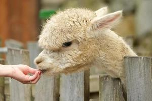 Alpaca eating from palm