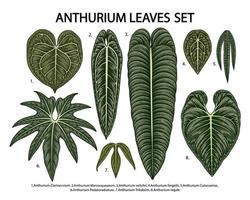 Vintage anthurium leaves set vector