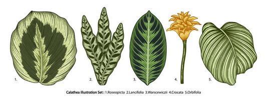 Vintage Calathea leaves set