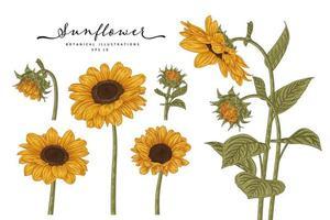 Sunflower hand drawn botanical set vector