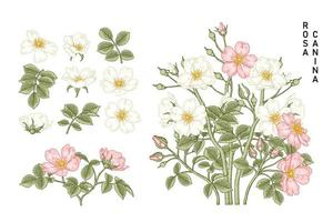 vintage rosa canina flor dibujos decorativos set