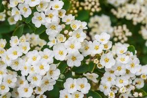 Hawthorn blooming photo